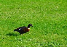 Paradise Shelduck on the Green Royalty Free Stock Image