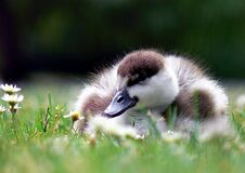 Paradise shelduck young. Stock Photo