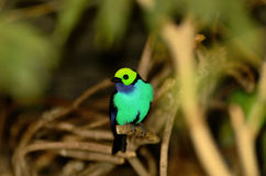 Paradise Tanager. Beautiful Paradise Tanager perched on a branch Royalty Free Stock Image