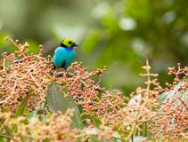 A Paradise tanager with fruits. A Paradise Tanager (Tangara chilensis) feasting on a bush covered with edible wild fruits in the amazonian rainforest of Peru Stock Images