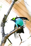 Paradise Tanager. The Paradise Tanager is a multicolored, medium-sized songbird found in humid tropical and subtropical forests in South America Royalty Free Stock Photo