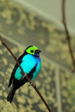 Paradise tanager Royalty Free Stock Image