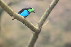 Paradise tanager Royalty Free Stock Photo