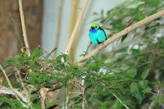 Paradise tanager Stock Photos