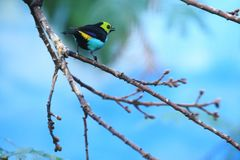 Paradise tanager Royalty Free Stock Photos