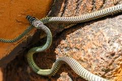 Paradise tree snake Chrysopelea paradisi Stock Photo