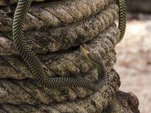 Paradise tree snake, paradise flying snake on a rope, Koh Adang Park, Thailand Stock Image