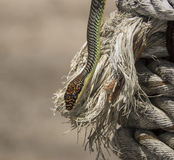 Paradise tree snake, paradise flying snake on a rope, Koh Adang Park, Thailand Royalty Free Stock Images