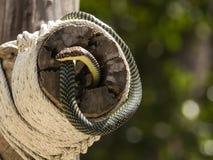 Paradise tree snake, paradise flying snake on a rope, Koh Adang Park, Thailand Royalty Free Stock Image