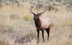 Paradise Valley Bull Elk. Rocky Mountain bull elk in Montana near Yellowstone National Park stock image