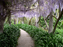Paradise walkway. Walkway with wisteria hanging above and green undergrowth Stock Photography