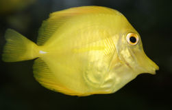 Paradise yellow tropical fish Royalty Free Stock Photography