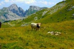 Paradiso della montagna della mucca Fotografia Stock