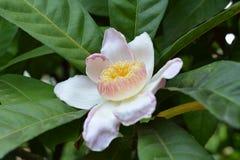 Paradiso di Lotus Fotografie Stock