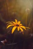 Paradoxa del Echinacea Imagen de archivo