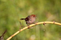 paradoxornis parrotbill红喉刺莺的酒的webbiana 库存照片
