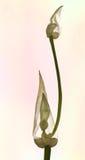 Paradoxum do Allium isolado Imagens de Stock