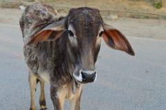 Parafuso prisioneiro Bull fotografia de stock royalty free