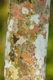 Paragraaf-het patroon van de rubberboomschors royalty-vrije stock foto