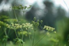 Paraguas de la inflorescencia de la flor blanca Imagenes de archivo
