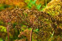 Paraguas del hinojo fragante del eneldo de las semillas Imágenes de archivo libres de regalías