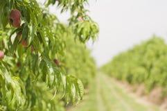 paraguay brzoskwinia Spain Zdjęcia Stock