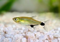 Paraguayensis van de dageraad tetraaphyocharax van Panda Tetra van aquariumvissen zoetwater royalty-vrije stock fotografie