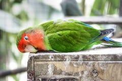 parakeet śpiący Zdjęcie Stock