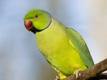 parakeet το πορτρέτο ringed αυξήθηκε στοκ φωτογραφίες