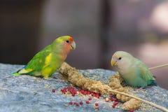 Parakeet δύο που τρώει το κεχρί στο βράχο Στοκ φωτογραφία με δικαίωμα ελεύθερης χρήσης