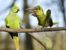 parakeet окружённый поднял Стоковое Изображение