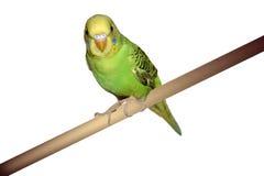 parakeet садился на насест стоковая фотография rf