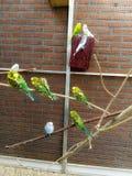 parakeet stockbilder