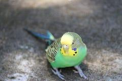 Parakeet 1 στοκ φωτογραφία με δικαίωμα ελεύθερης χρήσης
