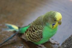 parakeet Photos stock