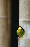Parakeet Royalty Free Stock Photography