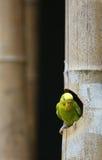 Parakeet fotografia de stock royalty free