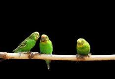 Parakeet imagem de stock