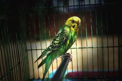 parakeet images stock