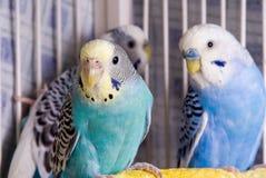parakeet стоковое фото
