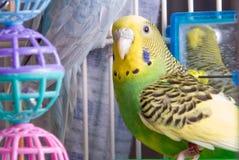 Parakeet стоковое изображение