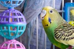 parakeet стоковая фотография