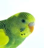 Parakeet Imágenes de archivo libres de regalías