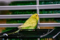 parakeet στοκ εικόνες