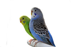 Parakeet Royalty Free Stock Image