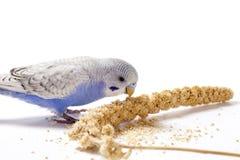 Parakeet Fotografia de Stock