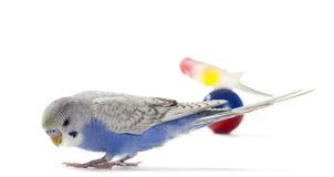 Parakeet стоковое фото rf