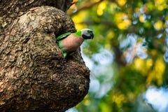 Parakeet. fotografia stock