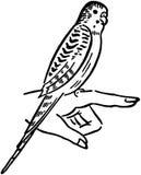 Parakeet stock illustration