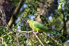 parakeet Zdjęcie Royalty Free